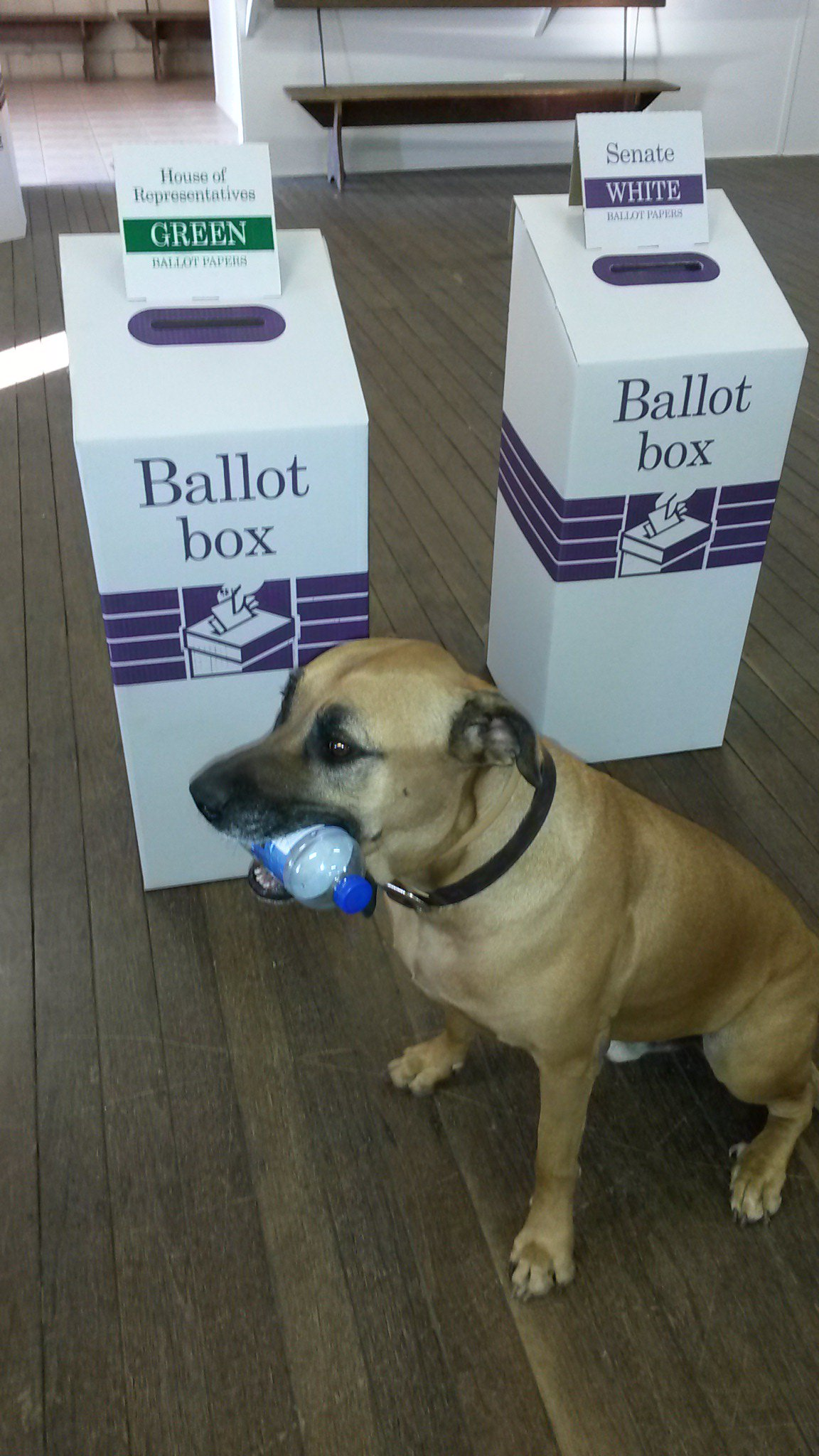 Angus from Rockhoundz does his bit at the 2016 federal election #dogsatpollingstations