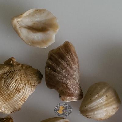 permian brachiopod fossil from western australia at rockhoundz.com.au
