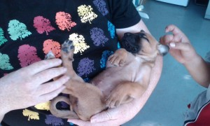 Angus the Rockhound puupy at 4 weeks old