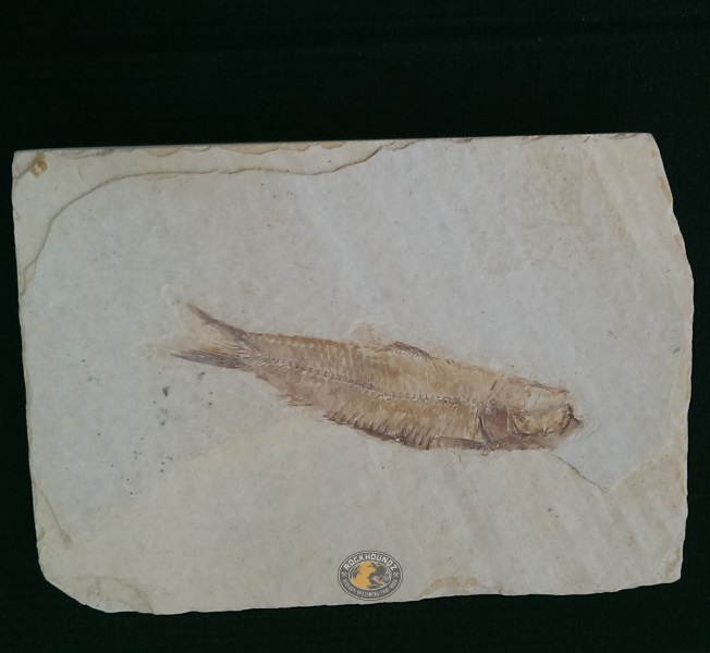 knightia fossil fish from Wyoming, USA at rockhoundz.com.au