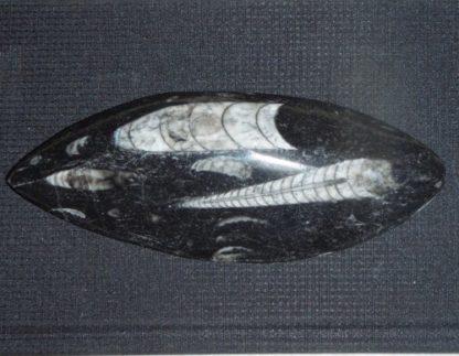 orthoceras fossil from rockhoundz.com.au